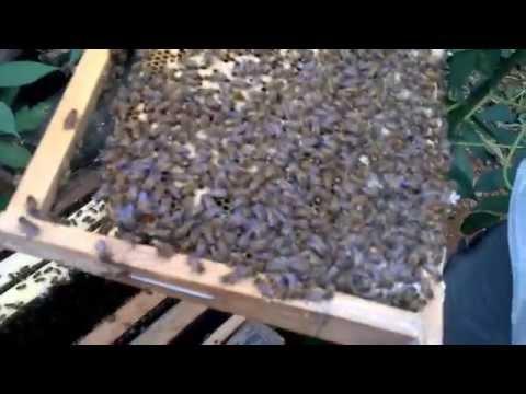 Kỹ thuật nuôi ong mật: 2 chúa/thùng