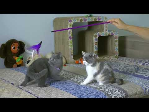 British kitties Romilda & Selesta