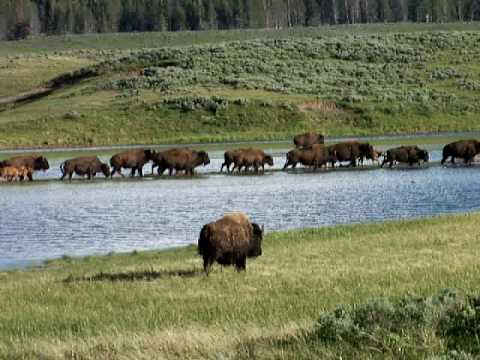 Bison Running Near Yellowstone River (1)