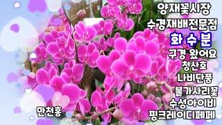 양재꽃시장 수경재배전문점 #화수분#다녀왔어요#나비단풍#…