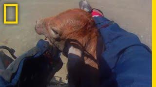 バイクレース中に子牛を救出したライダー |ナショジオ