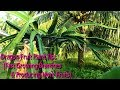 Dragon Fruit Plants Growing Tips (Branches & More Fruits)