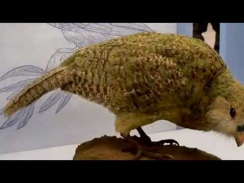 Kakapo Facts: 11 Facts about the Kakapo