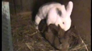 Pecuv králík při sexu .avi