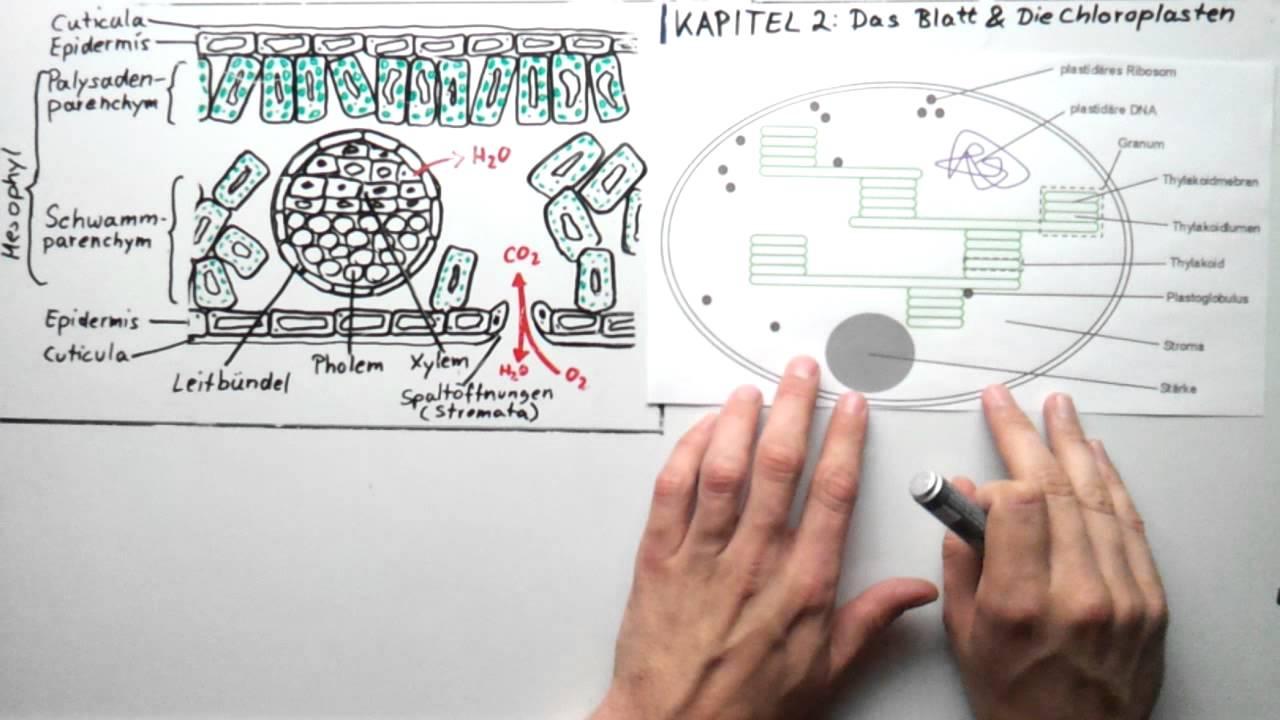 blattquerschnitt und chloroplasten youtube. Black Bedroom Furniture Sets. Home Design Ideas