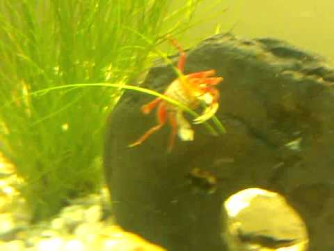 Tropical freshwater crab in our 125l Aquarium