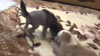 часть 3 щенки 2 мес.китайская хохлатая собачка