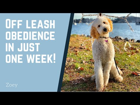 Knoxville Dog Trainers - 8 Month Old Golden Doodle Goes Off Leash in ONE WEEK!