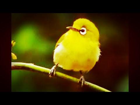 suara pikatan burung kecil