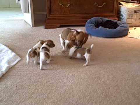 Mother Jack Russell plays with her puppies