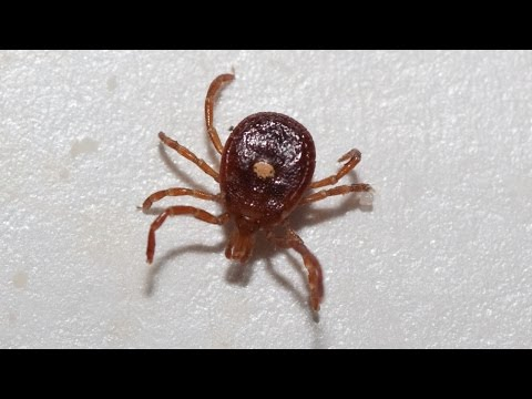 Lone Star tick bites can cause red meat allergy