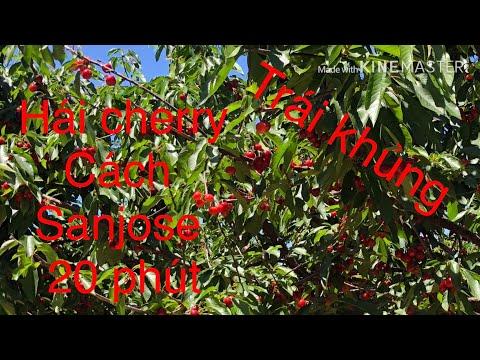 Hái Cherry Tại Vườn/ Cherry Picking/CUỘC SỐNG ỞMỸ