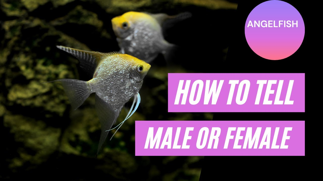 Detailed Information And Pictures Of Male And Female Angelfish Youtube