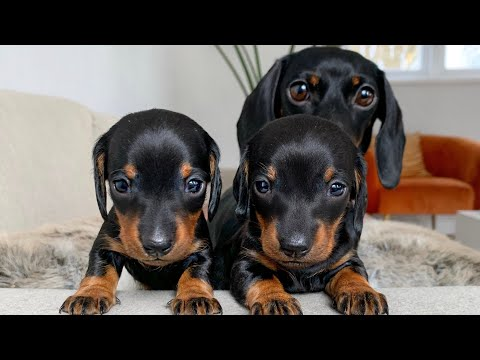 Dachshund Puppies. How Can We Tell Them Apart?