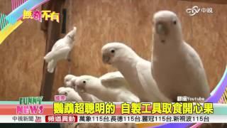 鸚鵡超聰明的 自製工具取食開心果│中視新聞 200161116