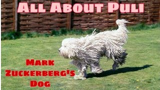 All About Puli DoG BreeD.