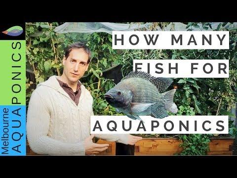 How Many Fish For Aquaponics