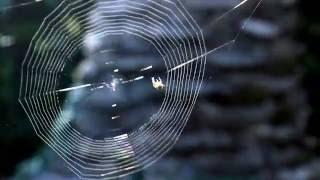 Araña tejiendo su telaraña desde cero
