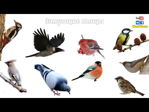 зимующие птицы названия и фото для детей