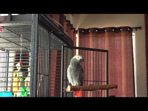 Luna 2 year old African Grey parrot talking