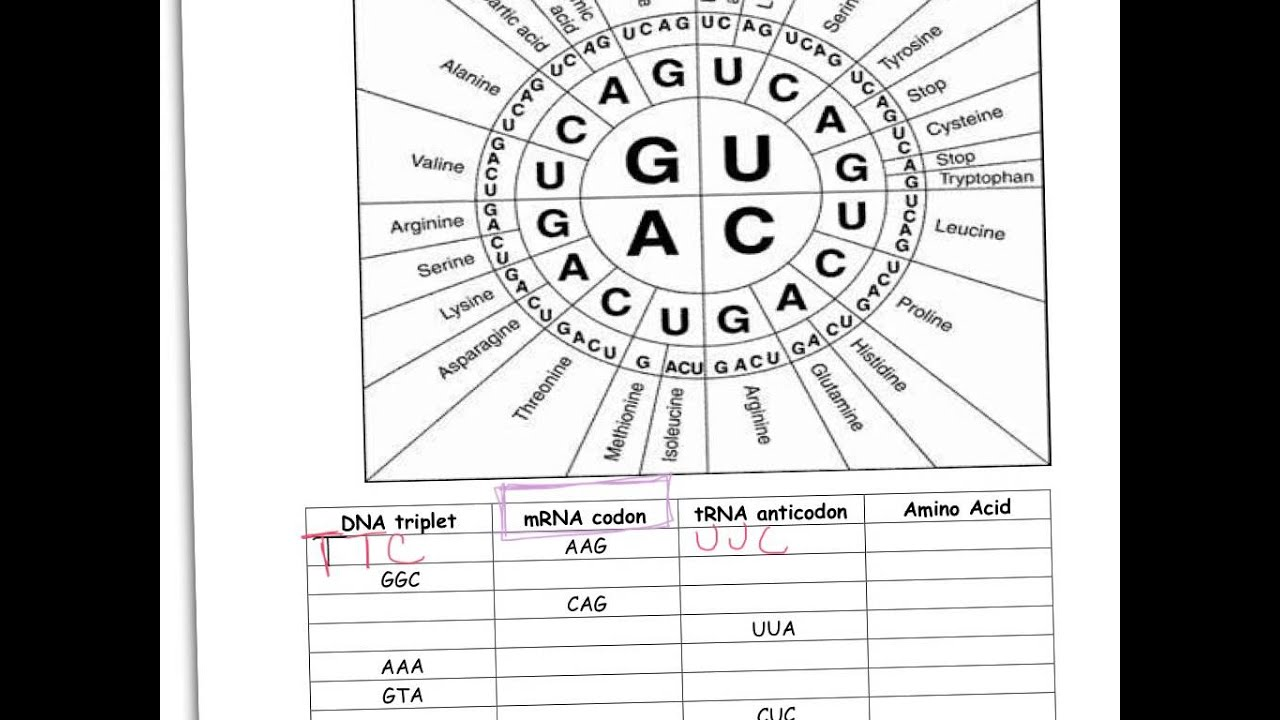 worksheet Genetic Code Worksheet codon worksheet youtube worksheet