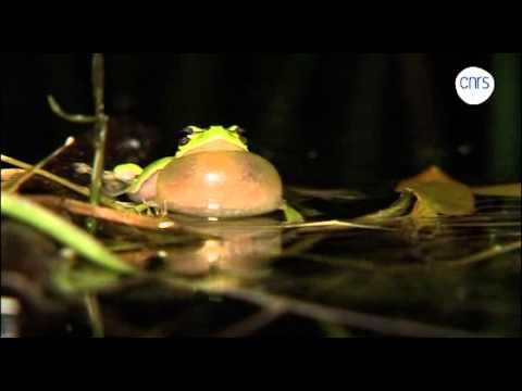 Le chant des grenouilles Hyla arborea   Le Bar des sciences   Actualité scientifique et enquêtes, articles, débats sur les sciences