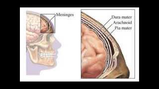 Meninges craneales y raquideas o espinales.