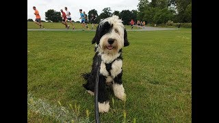 Milo -  7 Month Old Tibetan Terrier - 4 Weeks Residential Dog Training