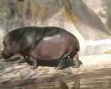 Hippo Explosive Diarrhea hippo crado - YouTube