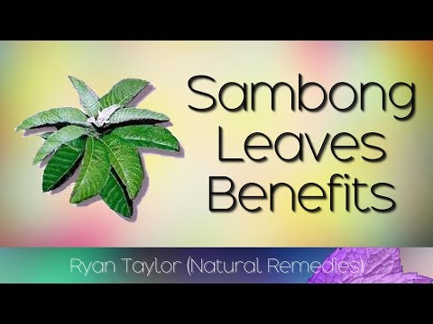 Sambong Leaves: Benefits and Uses