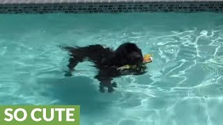 Giant dog plays fetch in pool with little girl