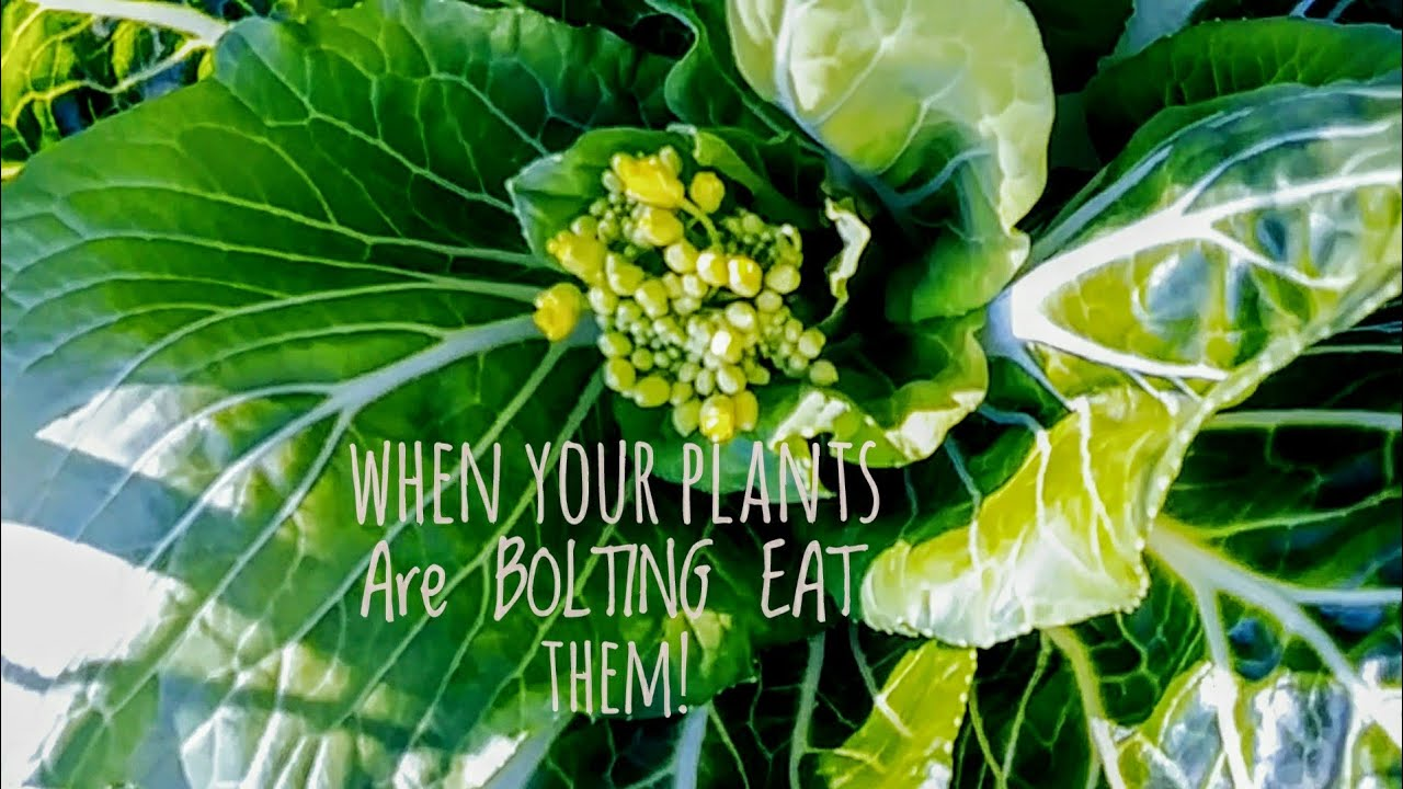 what is bolting in plants