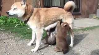 生後24日目の柴犬の3兄弟です♪ とても元気です♪ 柴犬専門 房陽猪ヶ谷庵...