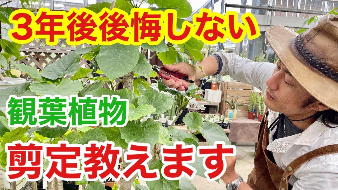 【もう手遅れ?】放ったらかしの観葉植物剪定でリセットできます 【カーメン君】【園芸】【ガーデニング】【初心者】