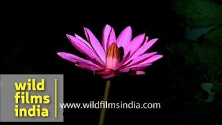 Lotus (Nelumbo nucifera) flower - time lapse
