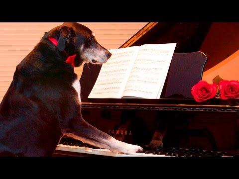 Dog Playing Piano #40