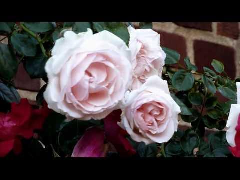 Le Vie En  Rose Louis Armstrong