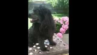 Sophie Florida Poodle Rescue Black Mini 6_3.mov
