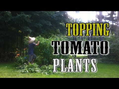 Topping & Trimming Tomato Plants- Grow MORE Tomatoes!
