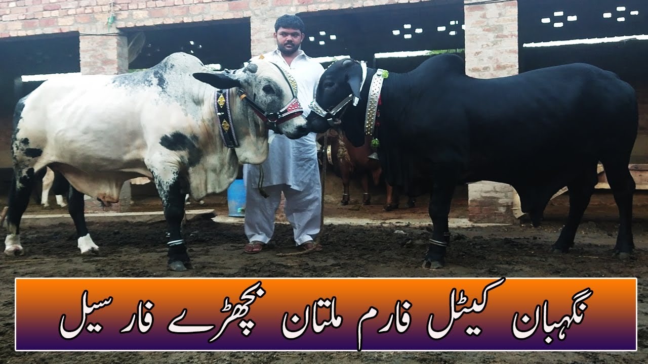 Nigheban Cattle Farm Multan Khobsorat Bachry For Sell | SS Tv |