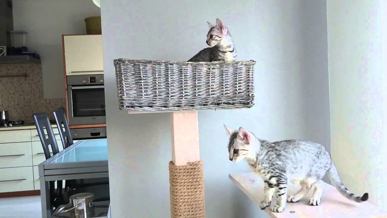 Kocięta Egipskie Mau Hodowla Kotów Rasowych Lilyraf Muessapl