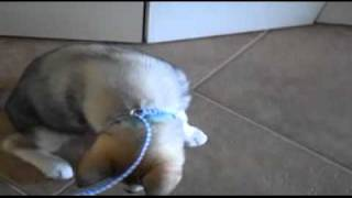 How To Train A Malamute To Sit