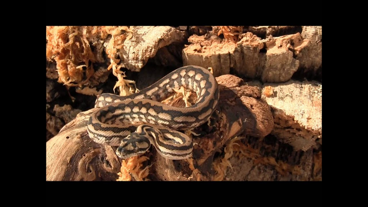 Striped Coastal Carpet Python - YouTube