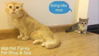 Mèo chân ngắn Mİ vṡ mèo tąi cụp M๐n . Cặp đôi hoàn hảo^^