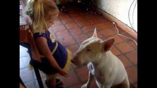 Aggressive Bull Terrier