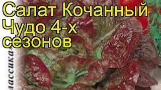 Салат кочанный Чудо 4-х сезонов. Краткий обзор, описание характеристик lactuca sativa