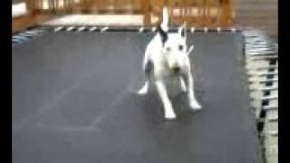 Bull Terrier Spinning