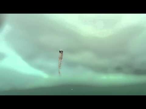 エビ@知床流氷ダイビング