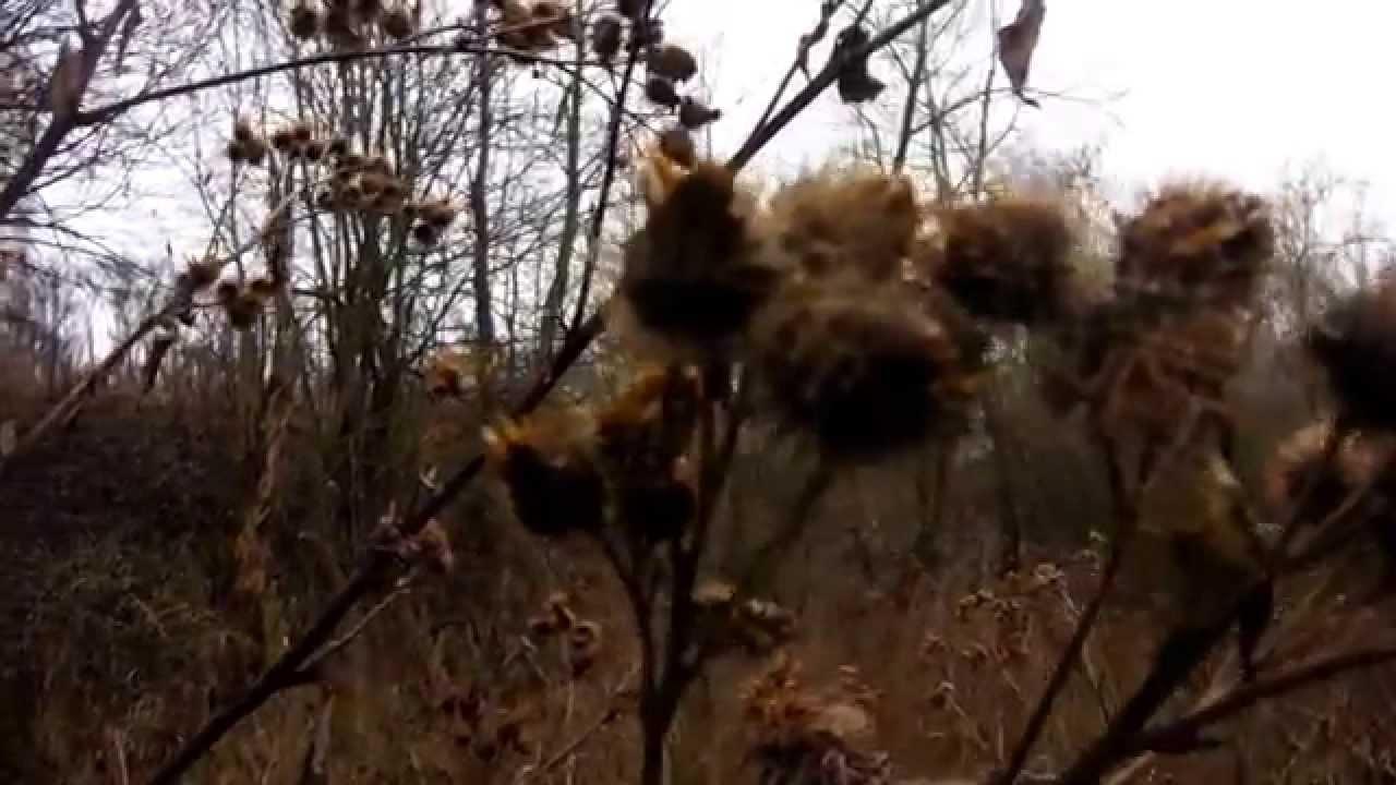 Лопух крупное двулетнее травянистое растение семейства сложноцветных, высотой. Корень лопуха используется как мочегонное, потогонное и.