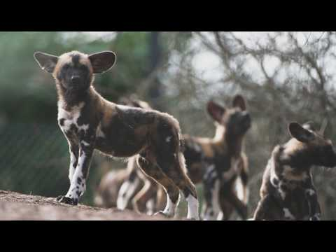 Chester Zoo's playful African painted dog pups named